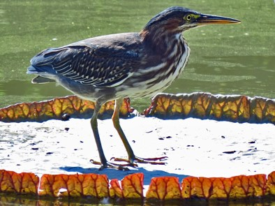 Green Heron on a Victoria Lily Pad