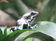 Green Amazon Tree Frog