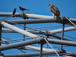Grackles and Hawk on the Climatron