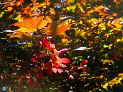 Japanese Maple Helicopter Seeds