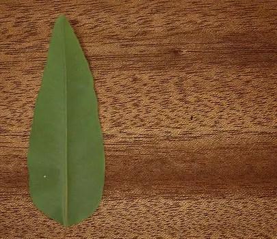 Mahogany wood.