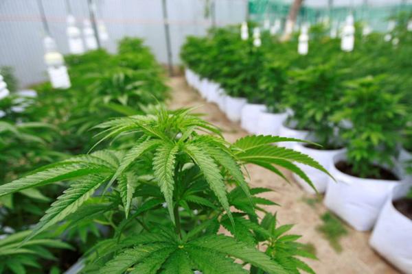 Baja el autocultivo de mariguana en Uruguay debido a la venta en farmacias