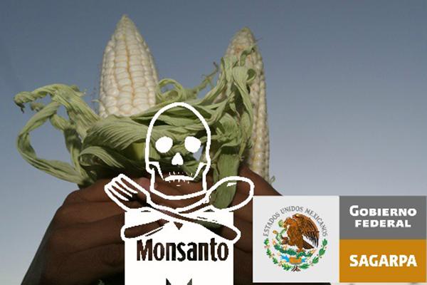 transgénico Conoce los argumentos concretos de la defensa del maíz