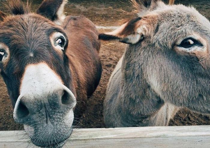 Encarcelan a 8 burros en la India por comer flores
