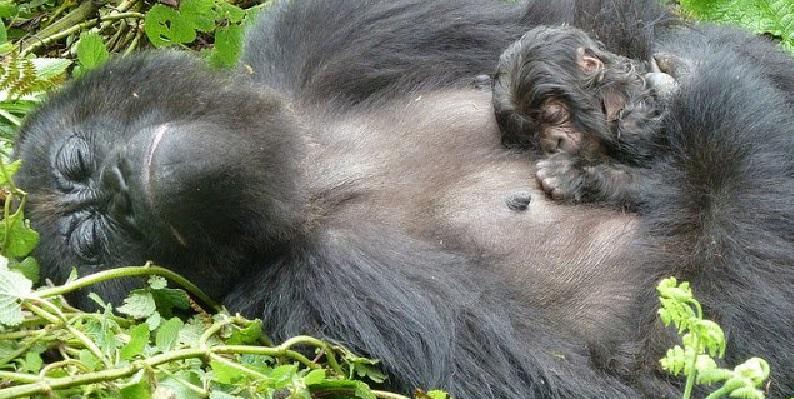 pri - 60% de primates en peligro de extinción por comercio y deforestación