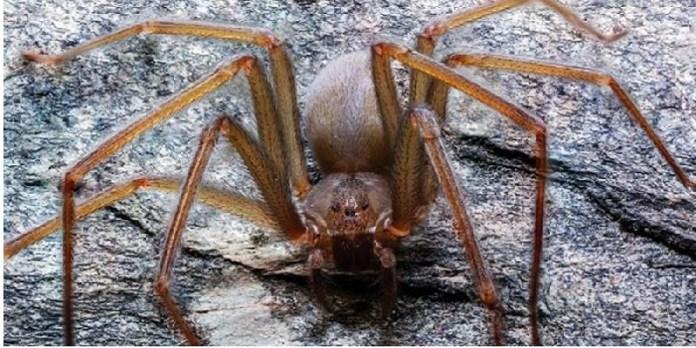 Araña  violinista mexicana