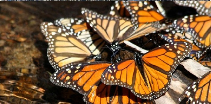 Mariposa monarca en México 2020