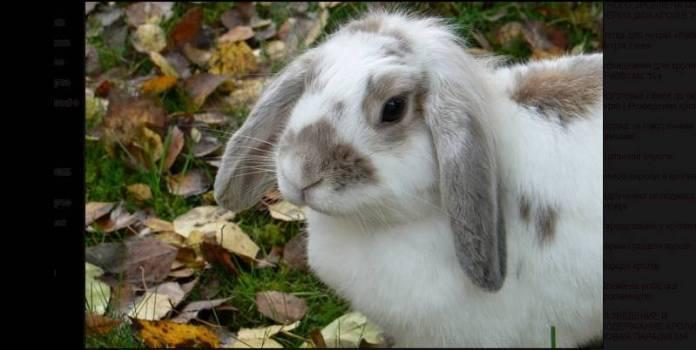 Combate a fiebre hemorrágica en conejos y liebres