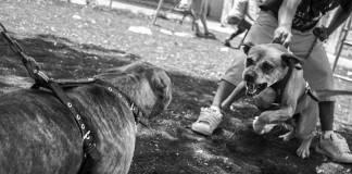 Diputados aprueban tipificar como delito la pelea de perros