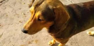 Exigen justicia para Rodolfo, perrito asesinado a machetazos en Sinaloa