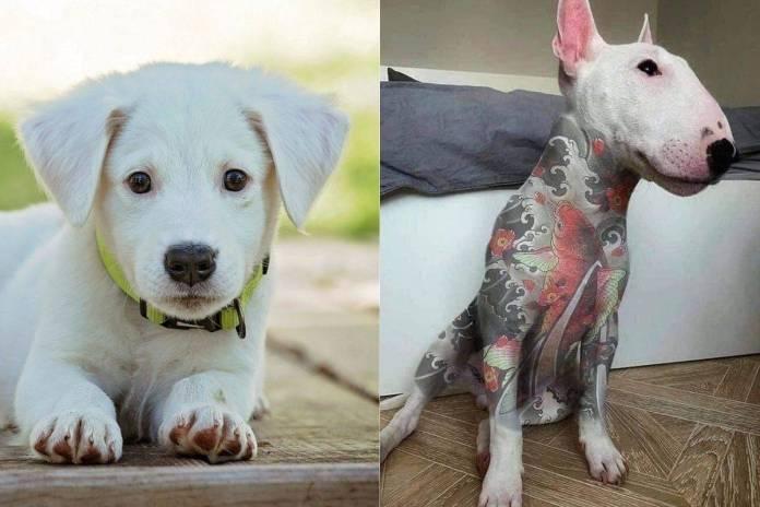 Sancionarán hasta con 20 mil pesos a quien haga tatuajes o perforaciones a mascotas