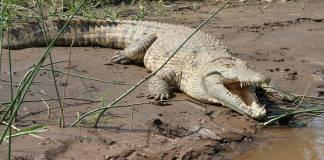 Cocodrilo ataca y ahoga a mujer en laguna de Carpintero, Tampico