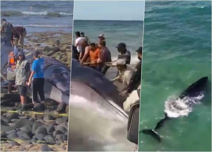 ballena puerto panasco sonora rescate - Así fue el tremendo rescate de una ballena varada en Puerto Peñasco