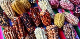 Suprema Corte debe proteger maíz nativo