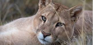 Puma concolor, especie en peligro de extinción
