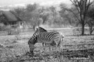 There are two zebras in this photo, can you spot both? (Thandeka Game Lodge)