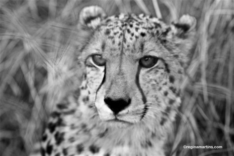 Such a serious looking cheetah (Thandeka Game Lodge)