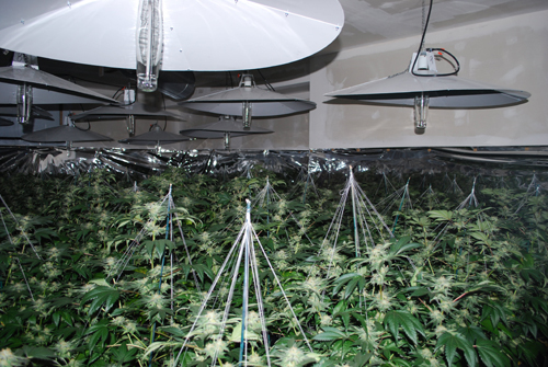 Persons involved in marihuana grow operations are more likely to be victims of home invasion, robbery, and other crimes. In addition, individuals involved in the illegal cultivation, consumption, sale, or distribution of marihuana or other drugs may feel it necessary to arm themselves or their property for protection from other criminals. Mistaken addresses or locations may increase the risk of harm or victimization for those persons who live in the same neighbourhood as the grow operation.