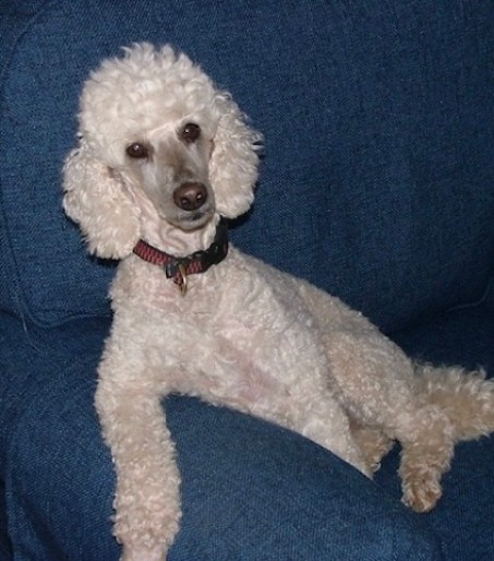Big poodle on easy chair. Looking inquisitive.
