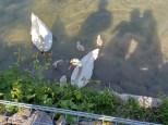 Schwanenfamilie im ehemaligen Hafen Kembs