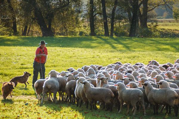 Hirte mit seinen Schafen im Grünfelder Park