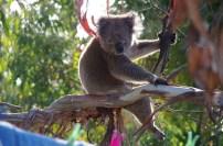 Koala with sore leg