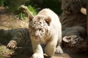 ZooParc de Beauval Bebe tigre blanc