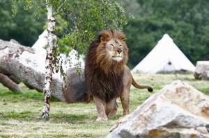 planete sauvage lion