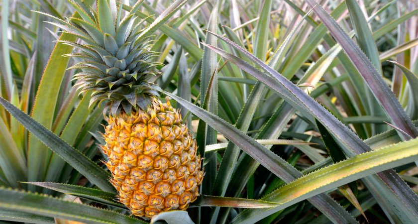 Things you need to know about leadership position in pineapple exports to the EU