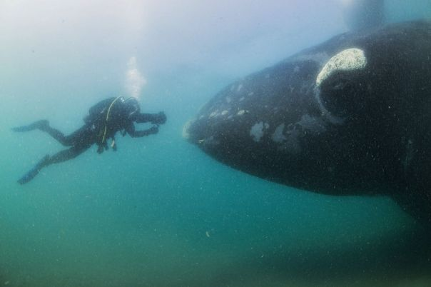 A-southern-right-whale-mother-seen-under-a-whale-watching-boat-in-Peninsula-Valdez-Argentina-2939968