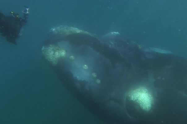 A-southern-right-whale-mother-seen-under-a-whale-watching-boat-in-Peninsula-Valdez-Argentina-2939969