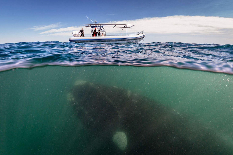 Mergulhador registra imagens belíssimas das Beleias-Francas