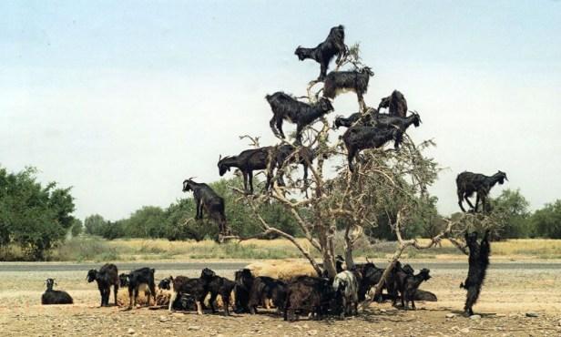 goats-argan-trees-000-1000x600