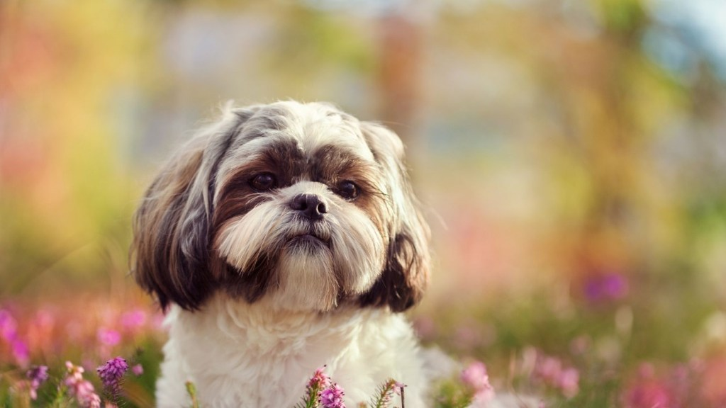 Shih Tzu - One of Canada's most popular dog breeds available for your Microsoft Teams virtual background.  Get the best Dog Microsoft Teams Backgrounds.