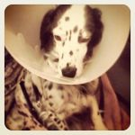 Spaniel dog wearing an Elizabethan collar to keep her from licking her hip where she had FHO surgery