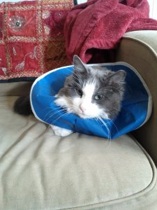 Calvin Cat Wearing Flexible Elizabethan Collar