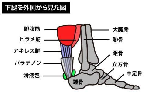 アキレス腱|下腿を外側から見た図