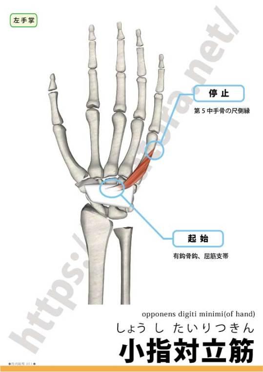 小指対立筋の起始停止
