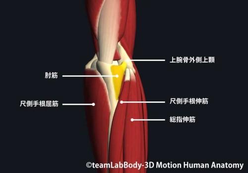 肘筋の触診方法