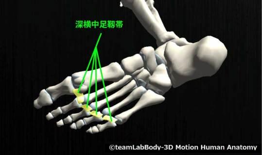 深横中足靱帯