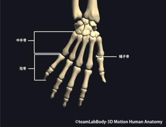 中手骨・指骨背側面|各部位の名称