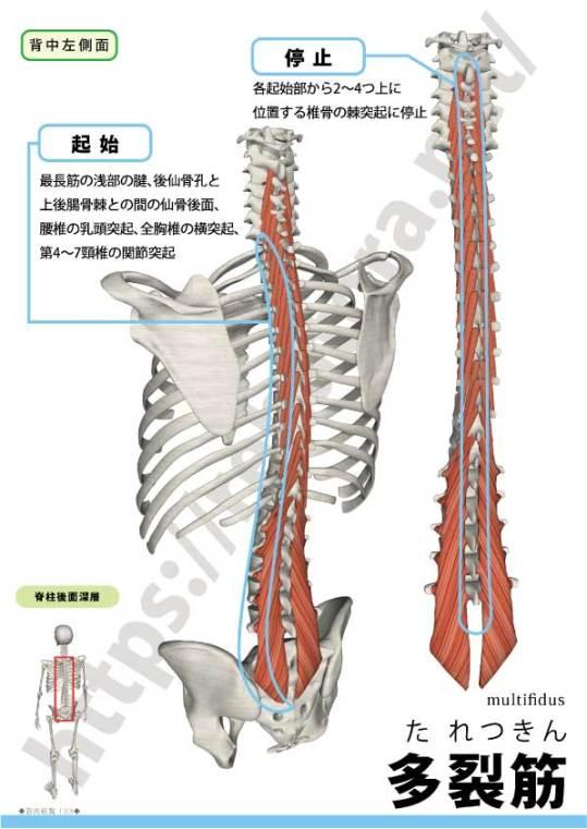 多裂筋の起始停止
