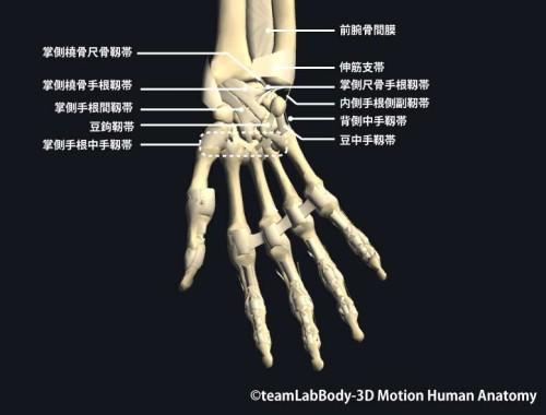 手関節部の靱帯|掌側面