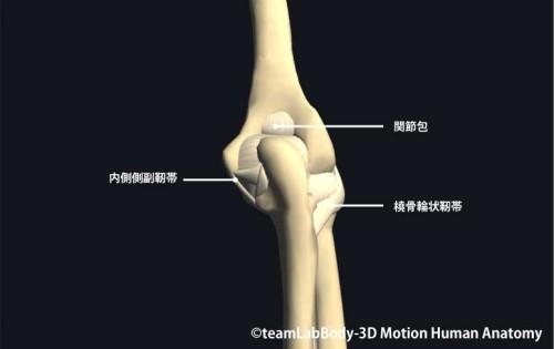 肘関節の靱帯後面|各部位の名称