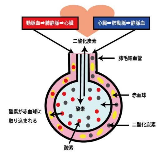 肺胞での換気の流れ