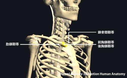 胸鎖関節の靱帯