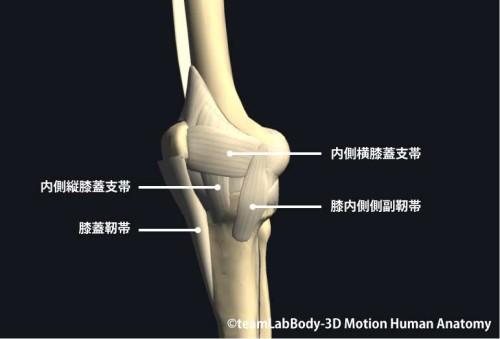 膝関節の靱帯内側面