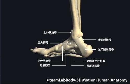 足関節の靱帯内側面