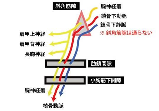 腕神経叢の分岐パターンと絞扼部位③