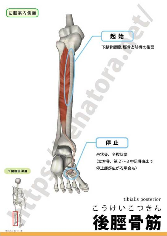 後脛骨筋の起始停止